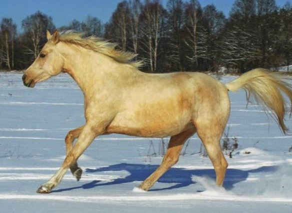 Czech Warmblood Horse Game