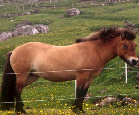 Faroe Horse Game
