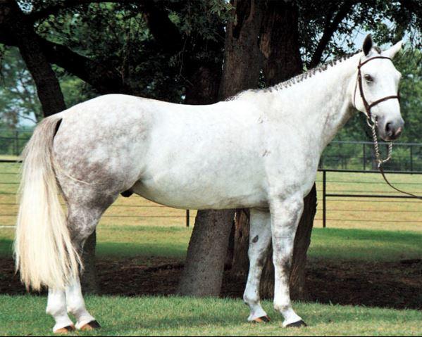 Irish Sport Horse Game