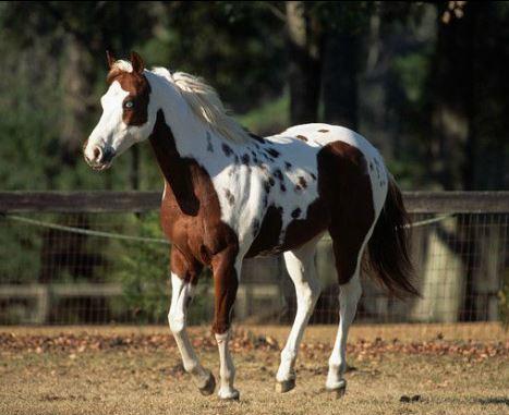 Pinto Horse Game