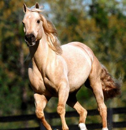 American Quarter Horse Game