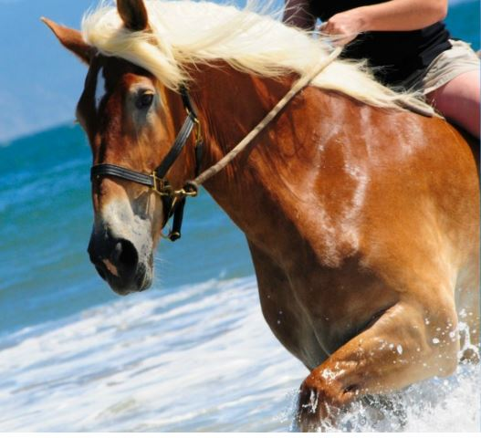 Belgian Horse Game