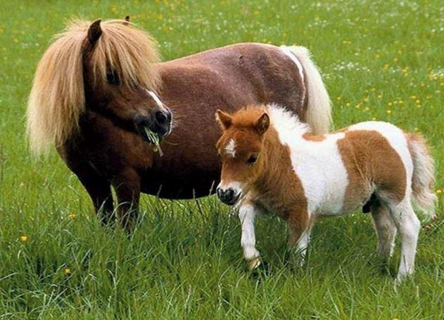 Falabella Horse Game