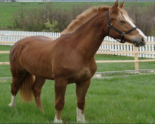 Freiberger Horse Game