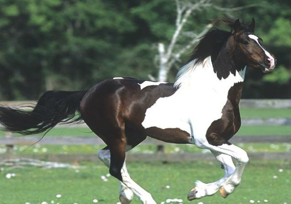 Georgian Grande Horse Game
