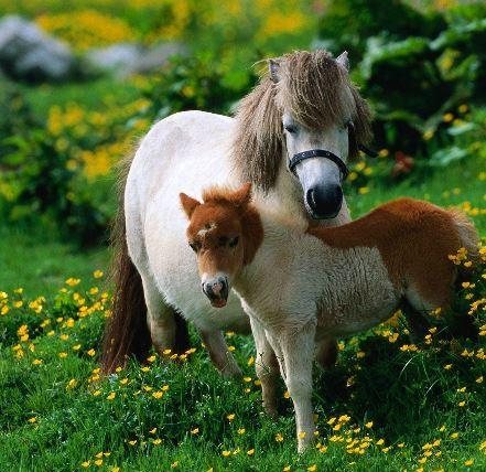 Shetland Pony Game