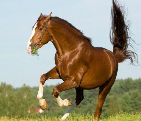 Chestnut Stallion Rodeo Game