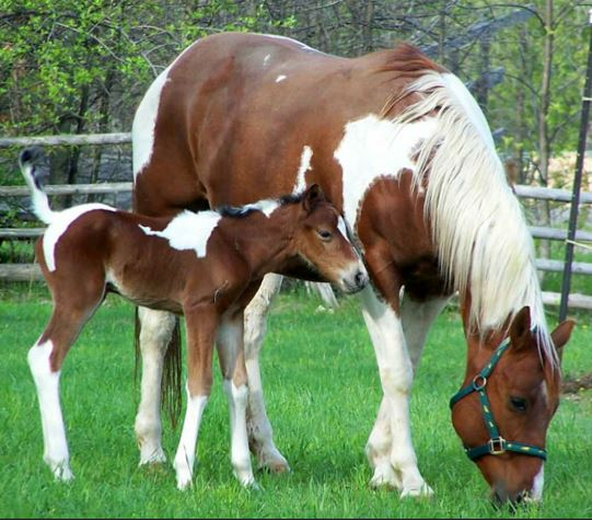 Hanoverian Horse Game